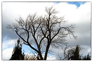 Iln faut cesser d'abattre les grands arbres du parc Morgan